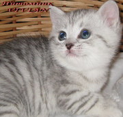 Британские вискас котята  из питомника VIVIAN.