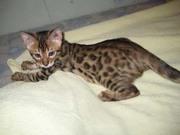 Мини леопарды бенгалы